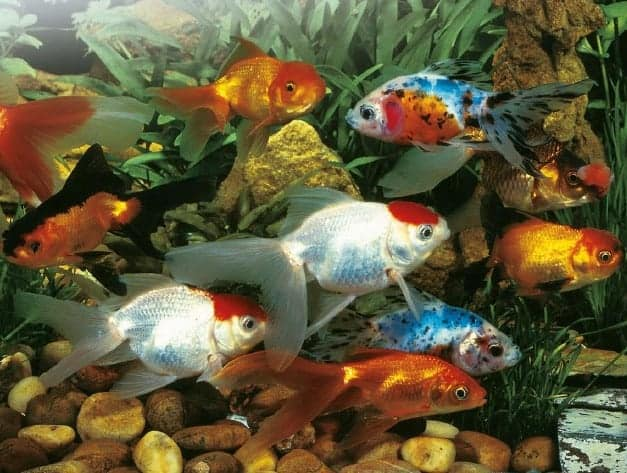 Goldfish swim school koi fish and diy koi pond for Pond fish varieties