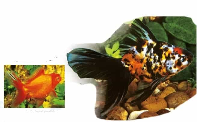 types of goldfish ryukin goldfish
