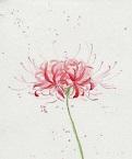 Những đoạn trích hay về hoa bỉ ngạn