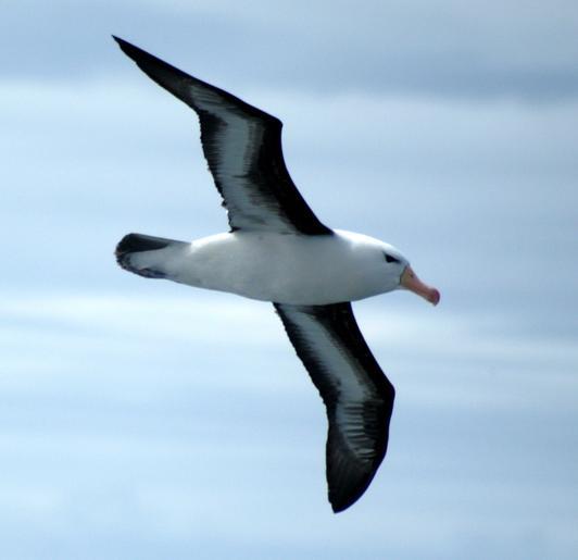Come un albatro