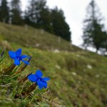 Schusterblume (Frühingsenzian) am Weg © Gipfelfieber.com