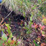 Man muss sehr genau hinschauen, um den Lemming zu entdecken © Gipfelfieber.com
