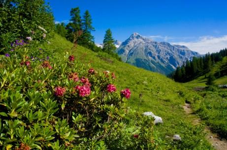 Blühende Alpenrosen © Gipfelfieber.com