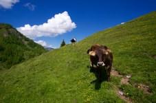 Glückliche Kühe ©Gipfelfieber