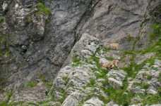 Steinbock-Geiß mit ihrem Kitz ©Gipfelfieber
