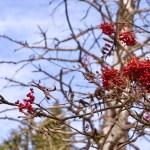 Knallig rote Vogelbeeren ©Gipfelfieber