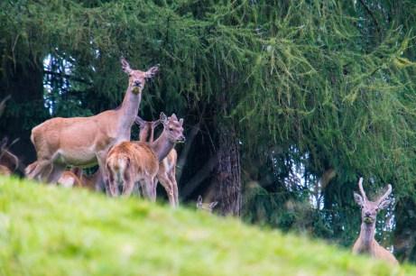 Auch ein junger Hirsch schaut neugierig ©Gipfelfieber