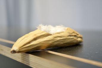 Eine Kapok-Bohne ©Gipfelfieber