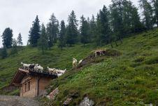 Ziegen auf der Sauna (!) ©Gipfelfieber