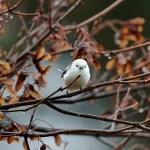小鳥好きのカノジョに~雪の妖精!シマエナガのグッズを贈りたい♡