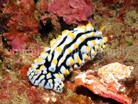 phyllidia_varicosa