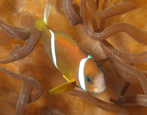 anenome_fish_sunshine_coast
