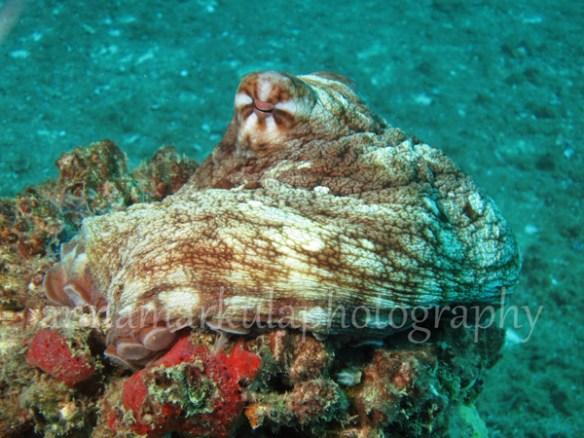 hmas_brisbane_octopus