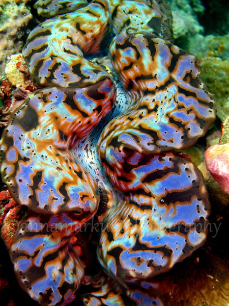 cool_clam_large