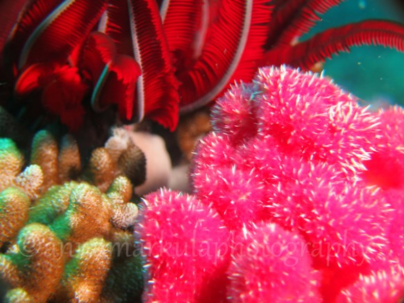 bright_coral_featherstar