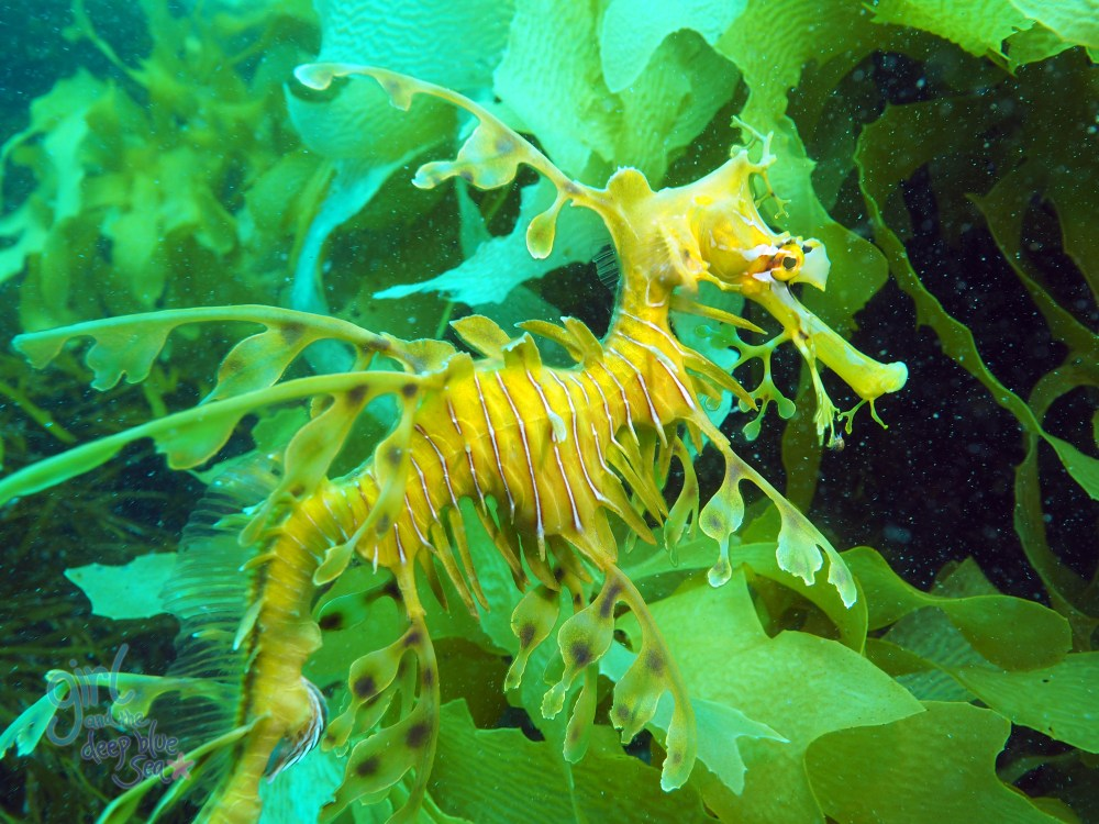 leafy_sea_dragon South Australia