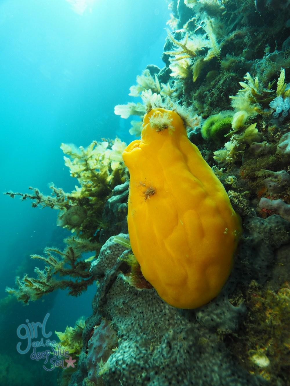 underwater tunicate Rapid Bay Jetty