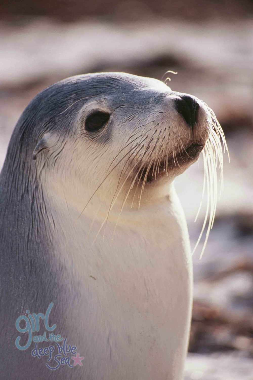 sealion pup closeup Kangaroo Island