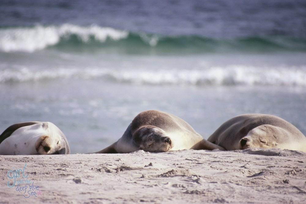 sealions sleeping on beach with ocean