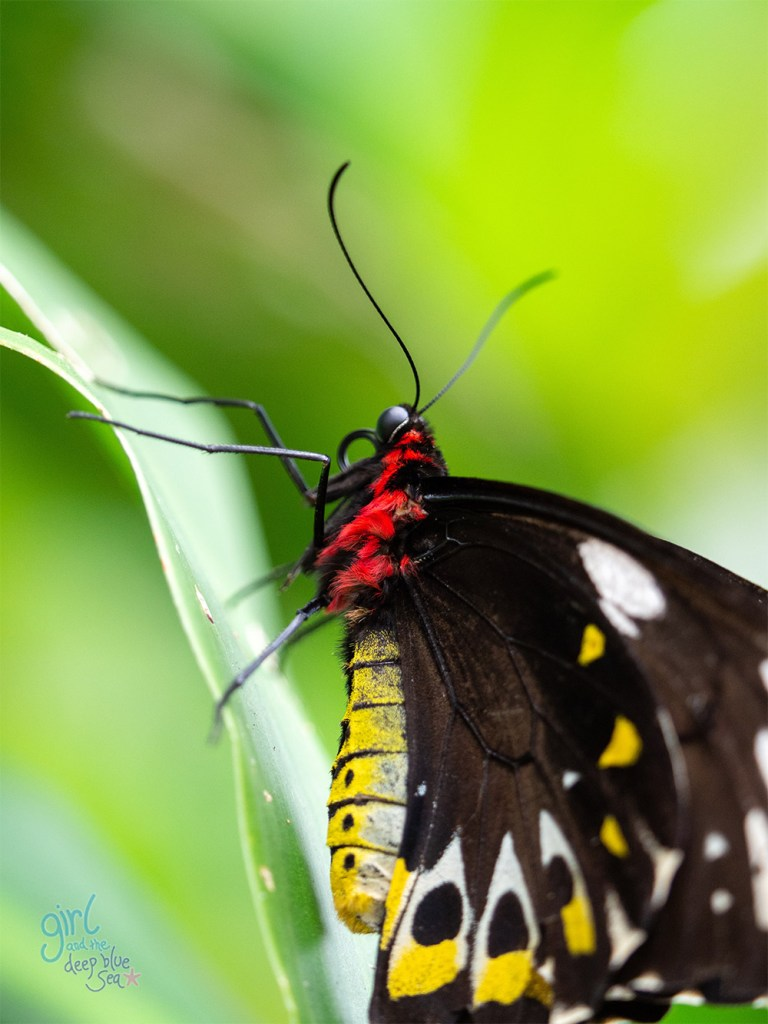 close up of Cairns Birdwing Butterfly found in tropical North Queensland