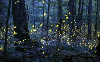 How to see the fireflies in Congaree National Park.