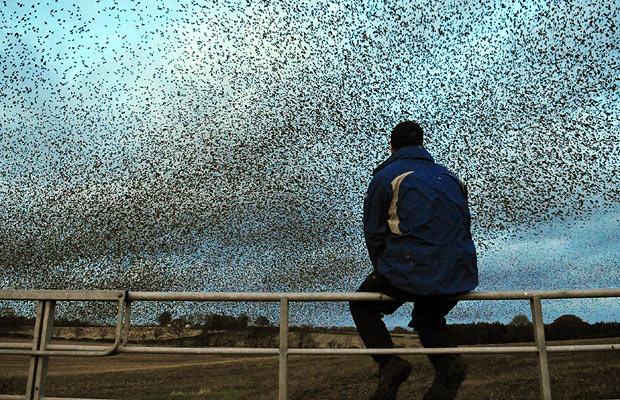 starlings-in-scotland