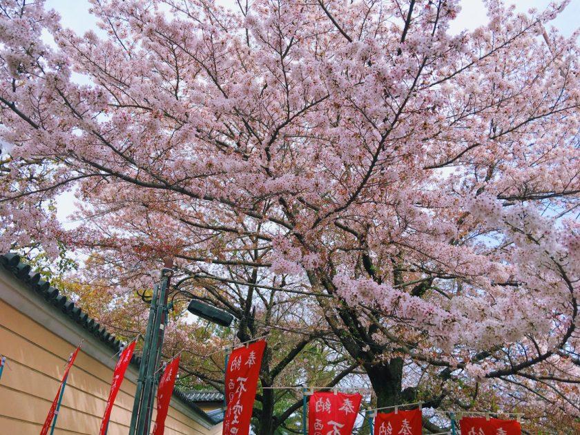 Sakura tree in Nara