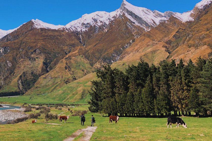 Cows roaming freely on Matukituki Valley