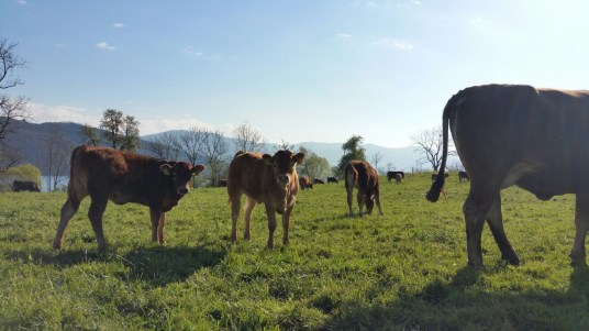 Swiss cows.