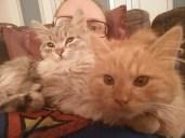 Siberian Kitten