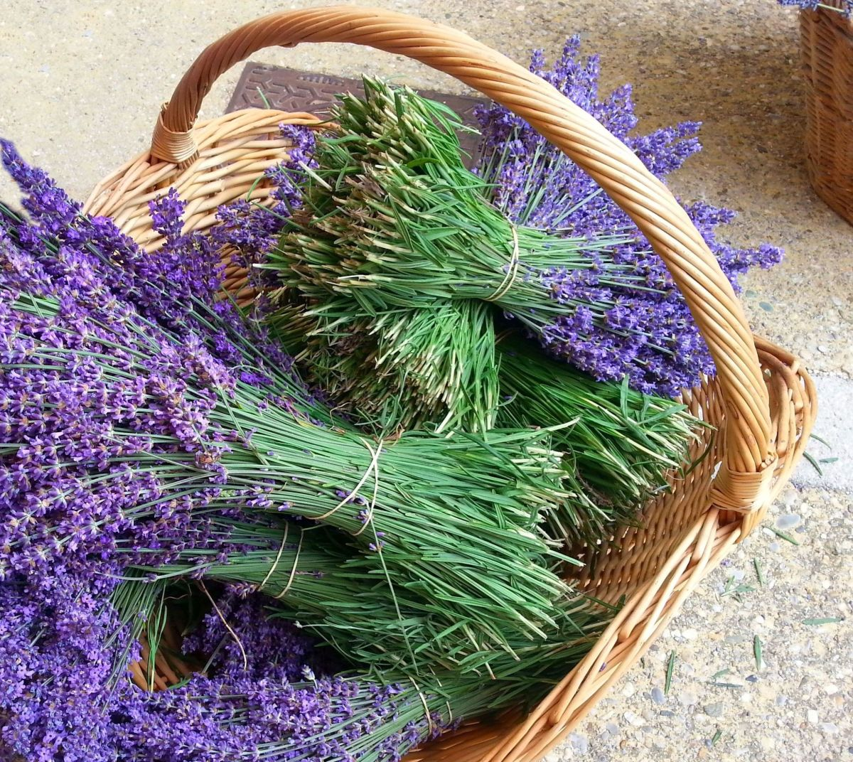 Lavender vs Lavandin - What is the difference ?