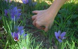 Saffron Fields of Provence - Saffron Fields in Marseille - Lascours Saffron Fields - 13or Rouge