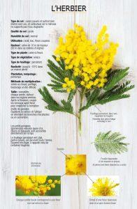 Route du Mimosa - the plant
