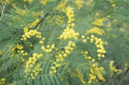 Mimosa Photo Gallery - bloom with leaves