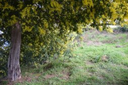 Mimosa Photo Gallery - Blooming Tree