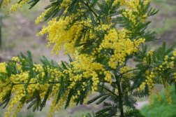 Mimosa Photo Gallery - bloom spray
