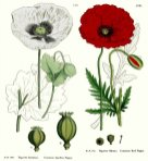 anatomy of a red poppy coquelicot