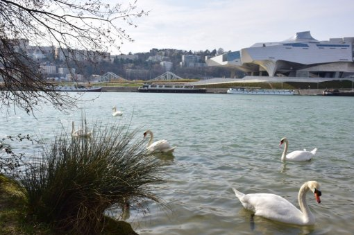Swans in front of the Musée des Confluences