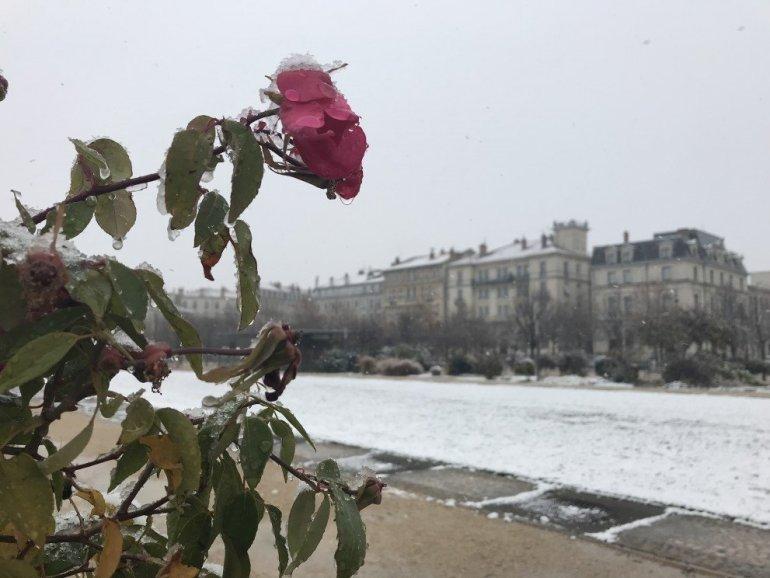 Silent Sunday - Valence - Parc Jouvet - Winter - A snow covered rose - Une rose sous la neige...