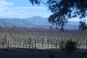 Napa_Vineyard2
