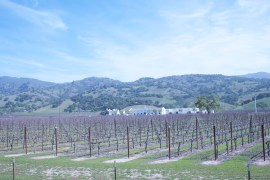 Napa_Vineyard7