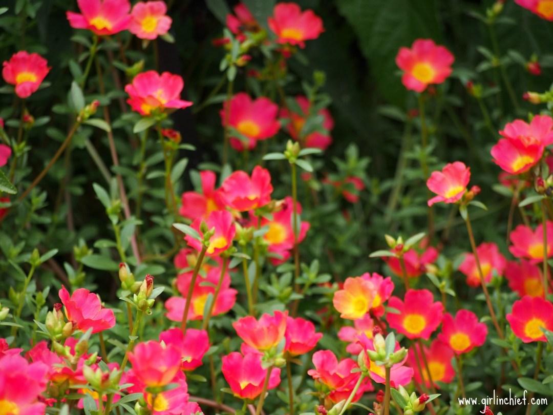 flowers-at-the-dallas-arboretum