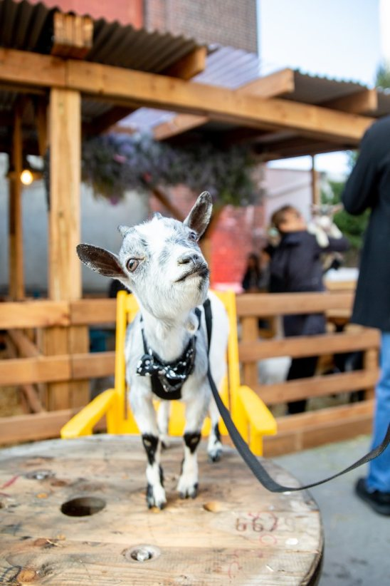 A goat at C2 Montreal