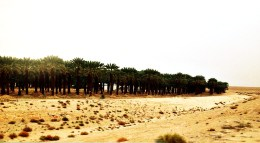 a swarn if trees in the judean dessert