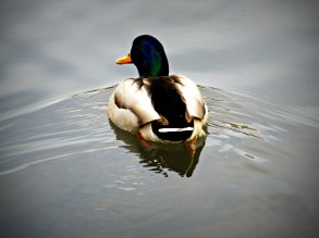 duck on still water