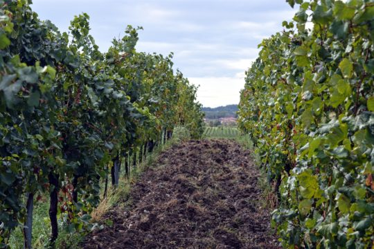 Barone Pizzini Vineyards