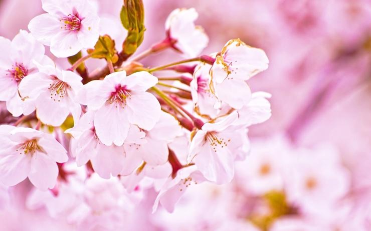 花びらも葉も香りも♪驚くべき桜の美容効果