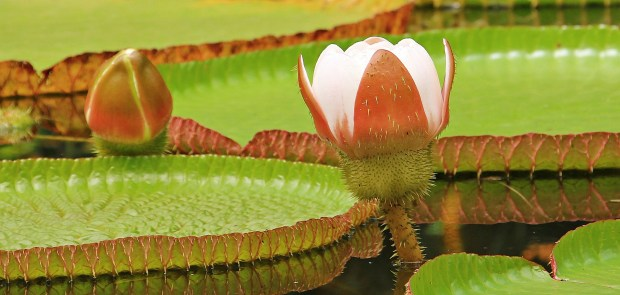 Iquitos water-lily (1)