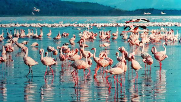 Kenia Lake Nakuru flamingo
