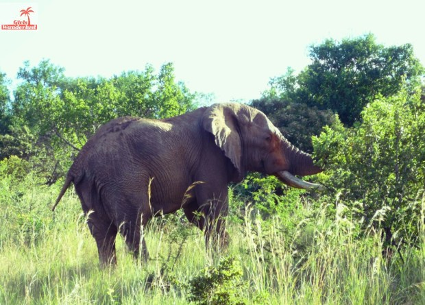 A visit to Pilanesberg National Park by @girlswanderlust #pilanesberg #southafrica #south #africa #girlswanderlust #safari #travel #travelblogger #nature #elephant.jpg